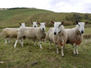 5 Bluefaced Leicester sheep looking at the camera. They have curly cream coloured wool, white faces with black noses.